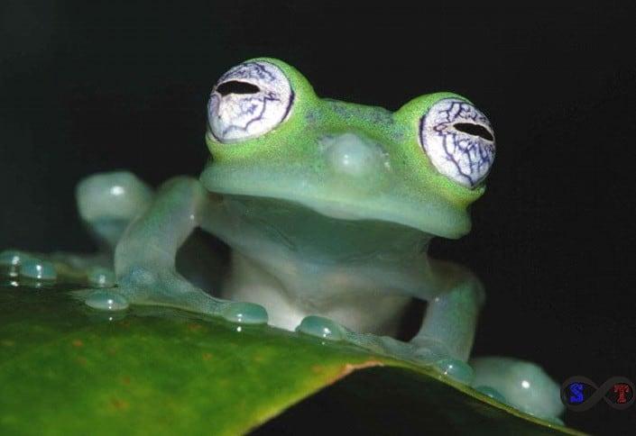 Cam Kurbağa